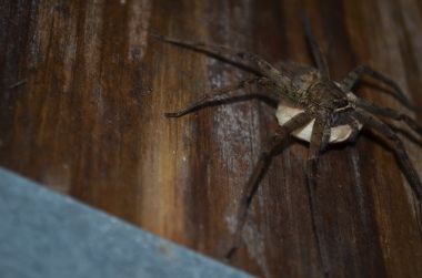 A humonguous wolf spider
